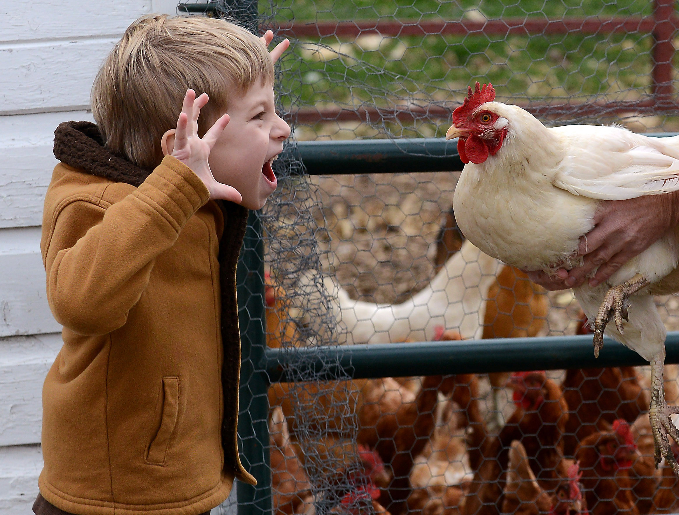 6-year-old son Solomon Johnson makes a face a chicken that his mom Gennifer was trying to hand to him at Brookdale Road Farm in Woodstock. The chicken was flapping his wings at Solomon so he made his scary face in retaliation.