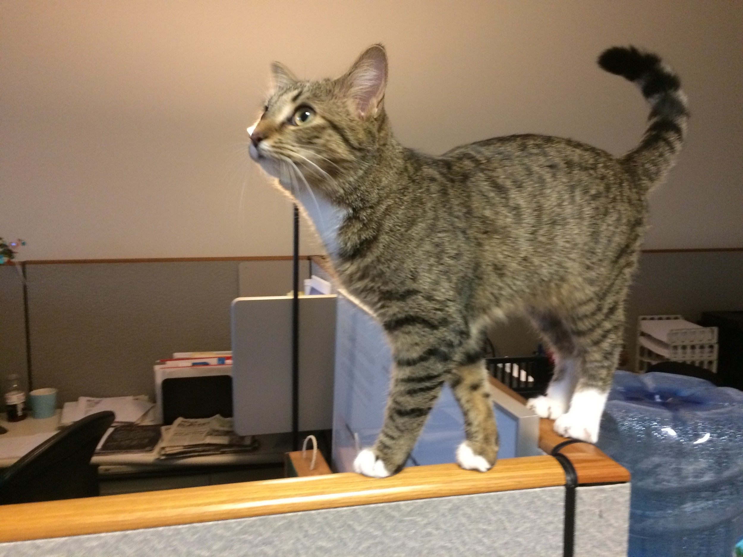 Charlotte, the Ostendorf's kittten, comes to the office on Feline Fridays to help lighten up the end of the week for everyone. Her office antics keep us smiling.