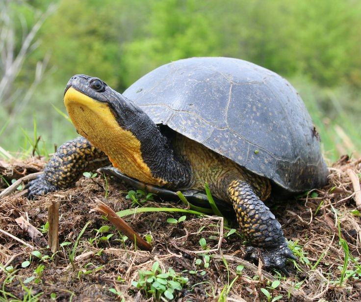 The Blanding Turtle.