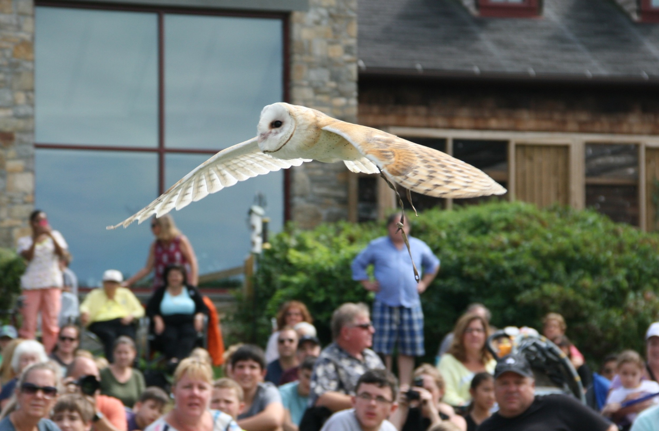 Barn Owl in flight/ Raptor Weekend