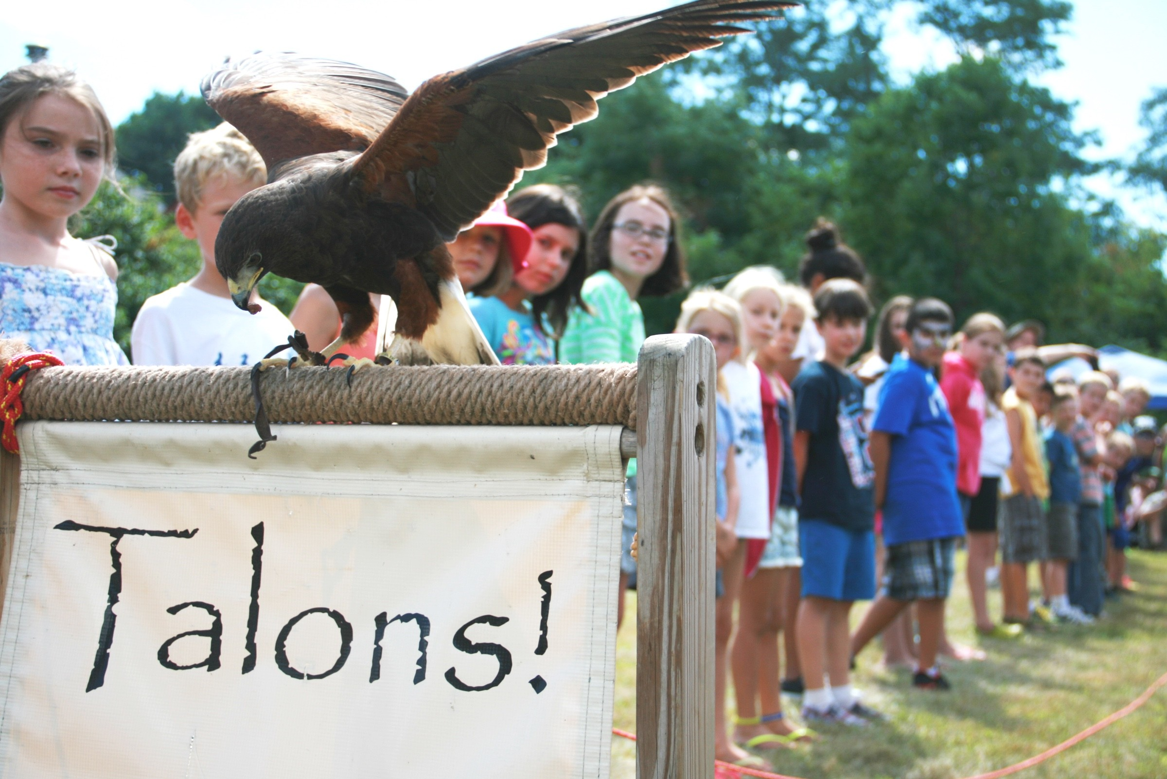 A Harris's Hawk swoops down along row of kids at Raptor Weekend