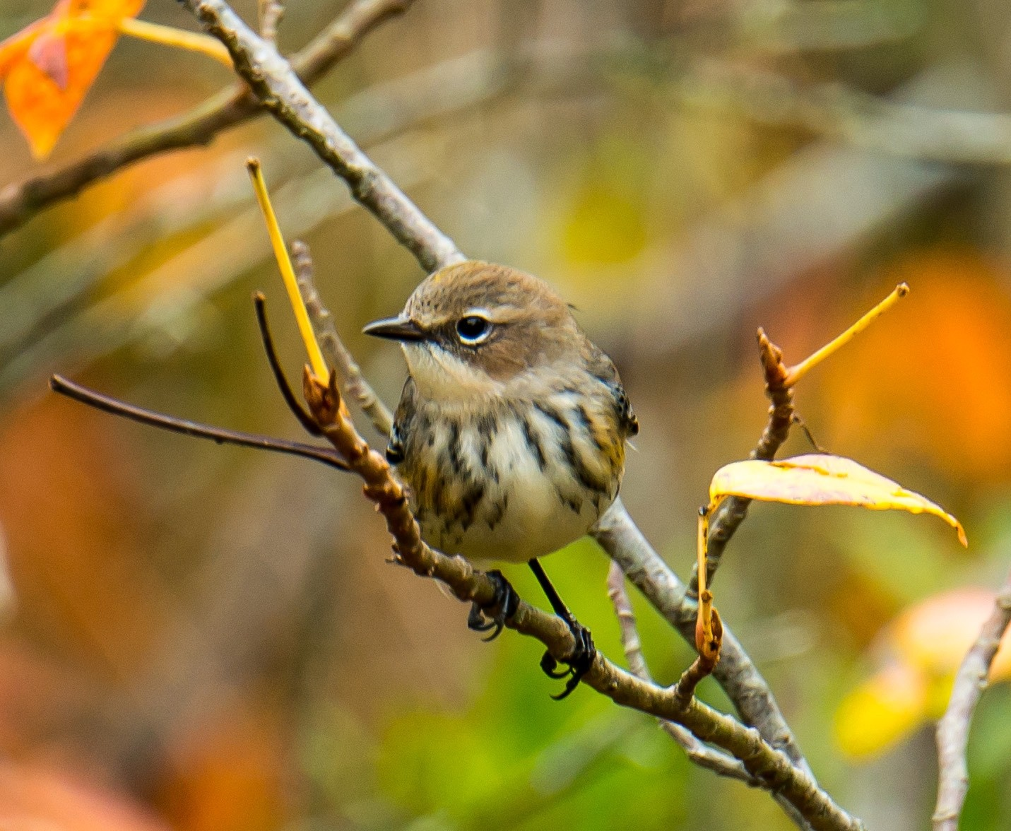 Fall Birding, Yellow-rumped Warbler