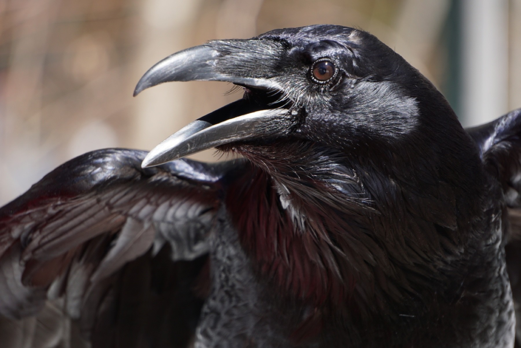 Zachariah the Raven