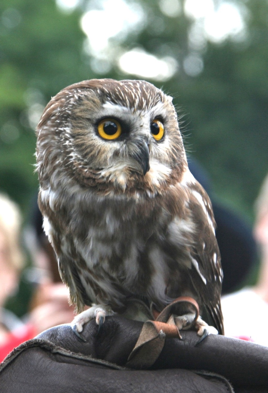 Audubon's Northern Saw-whet Owl, Pippin. Northern Saw-whet Owls are the smallest owl found in Rhode Island.