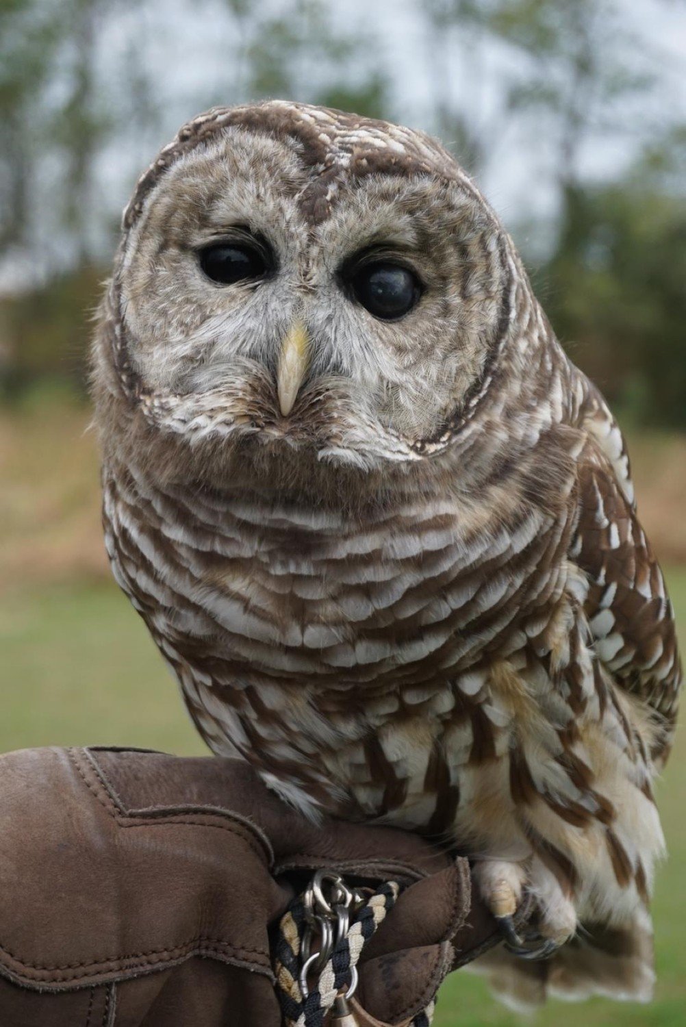 A Barred Owl, one of Audubon's Avian Ambassadors that families can meet during animal interviews at the Audubon Environmental Education Center in Bristol