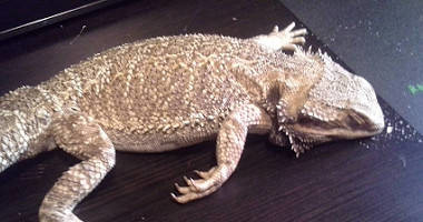 Bearded dragon found at scene.