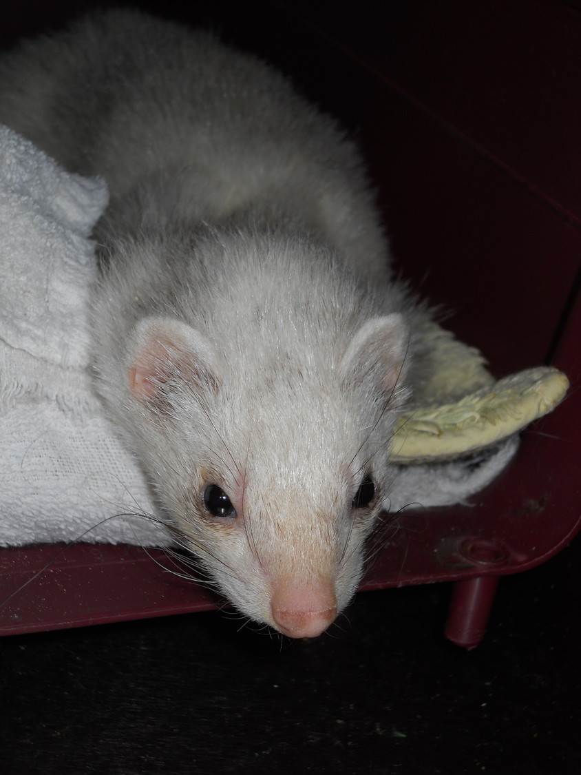 If you are interested in Jordan the Ferret call the Rehoboth Animal Shelter at 508-252-5421, ext. 126.