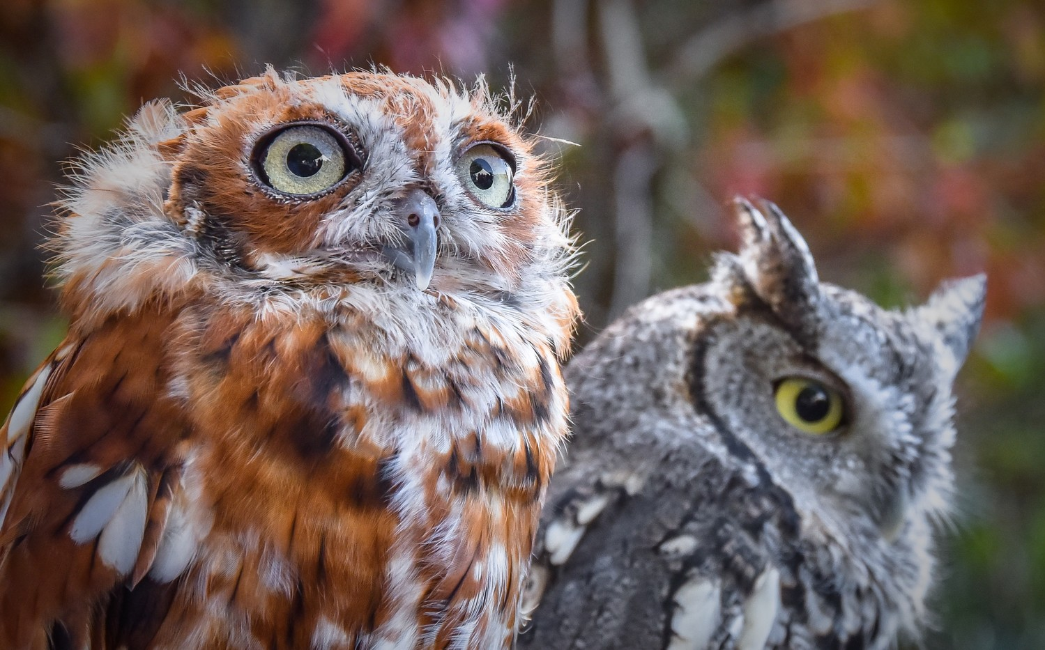 Eastern Screech-Owls at Audubon Raptor Weekend in both gray and red morph.