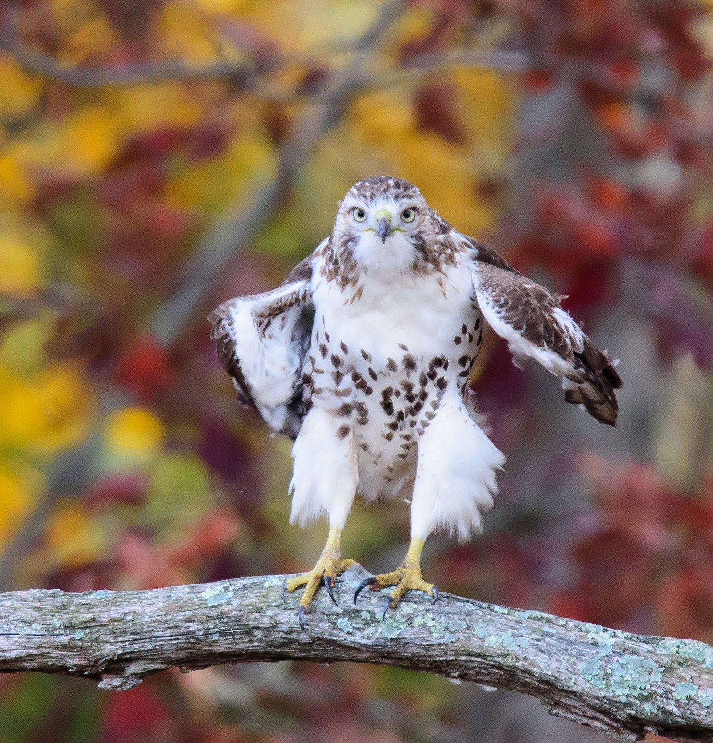 Red-tailed Hawk in autumn