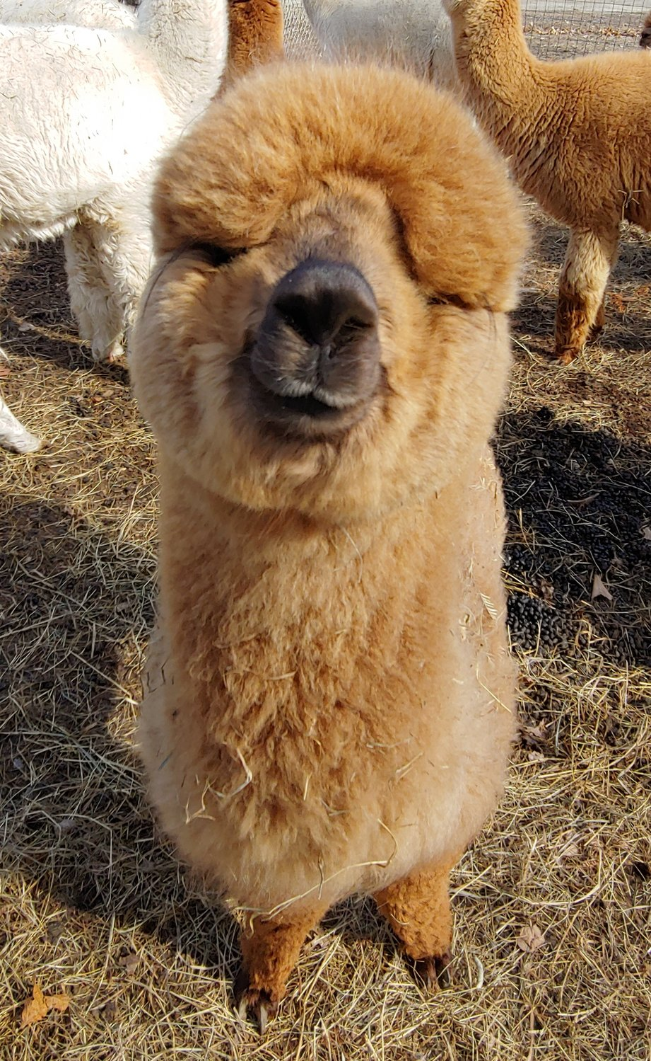 An alpaca baby is called a cria (cree-ya).