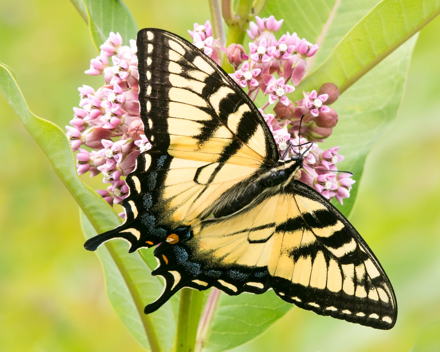 "Eastern Tiger Swallowtail by Abeselom Zerit may be used for Free Family Fun Day ""Pollinators"", Caratunk Butterfly Count, Wildflower Walk and Talk."