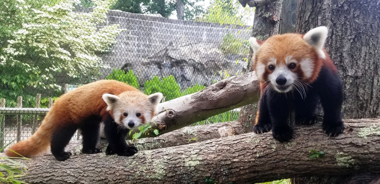 Buttonwood Park Zoo's own Red Pandas - Marie, left, Jacob, right