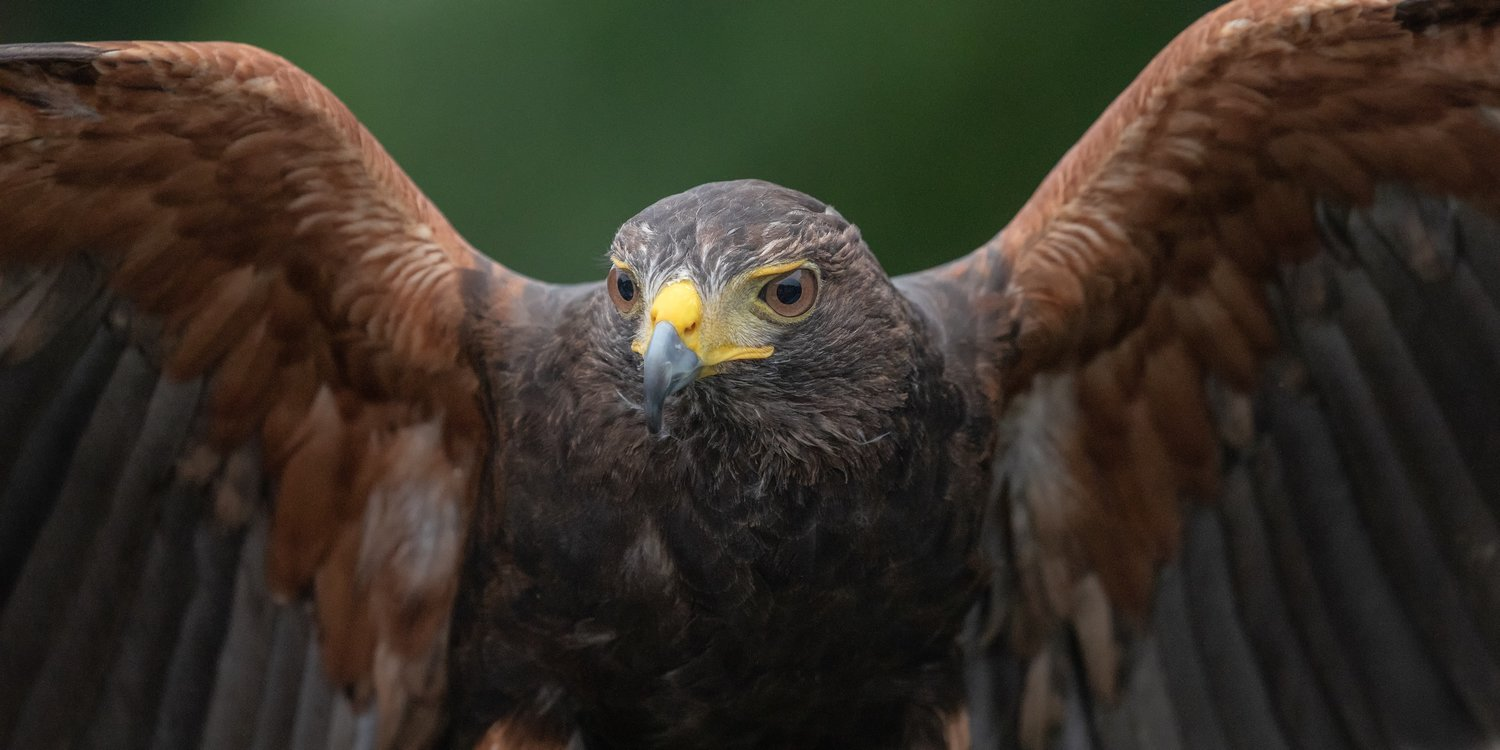 The Raptors are Coming!  Audubon Raptor Weekend, September 7 & 8, 2019