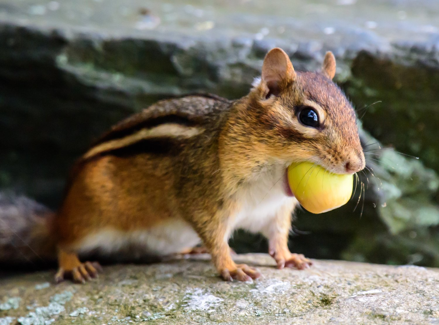 "Chipmunk with acorn for ""Are You Nuts?"" program on October 19, 2019 at Audubon Powder Mill Ledges in Smithfield, RI"