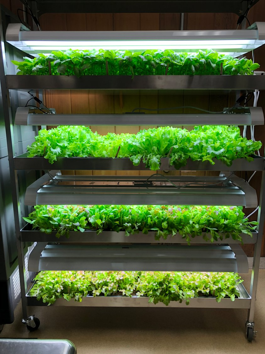 The EvanLee Organics grow rack produces 4 levels of fresh salad greens and basil for pesto