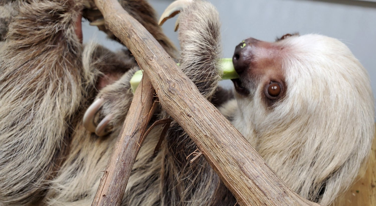 Buttonwood Park Zoo's 1st Female Sloth, Sandy