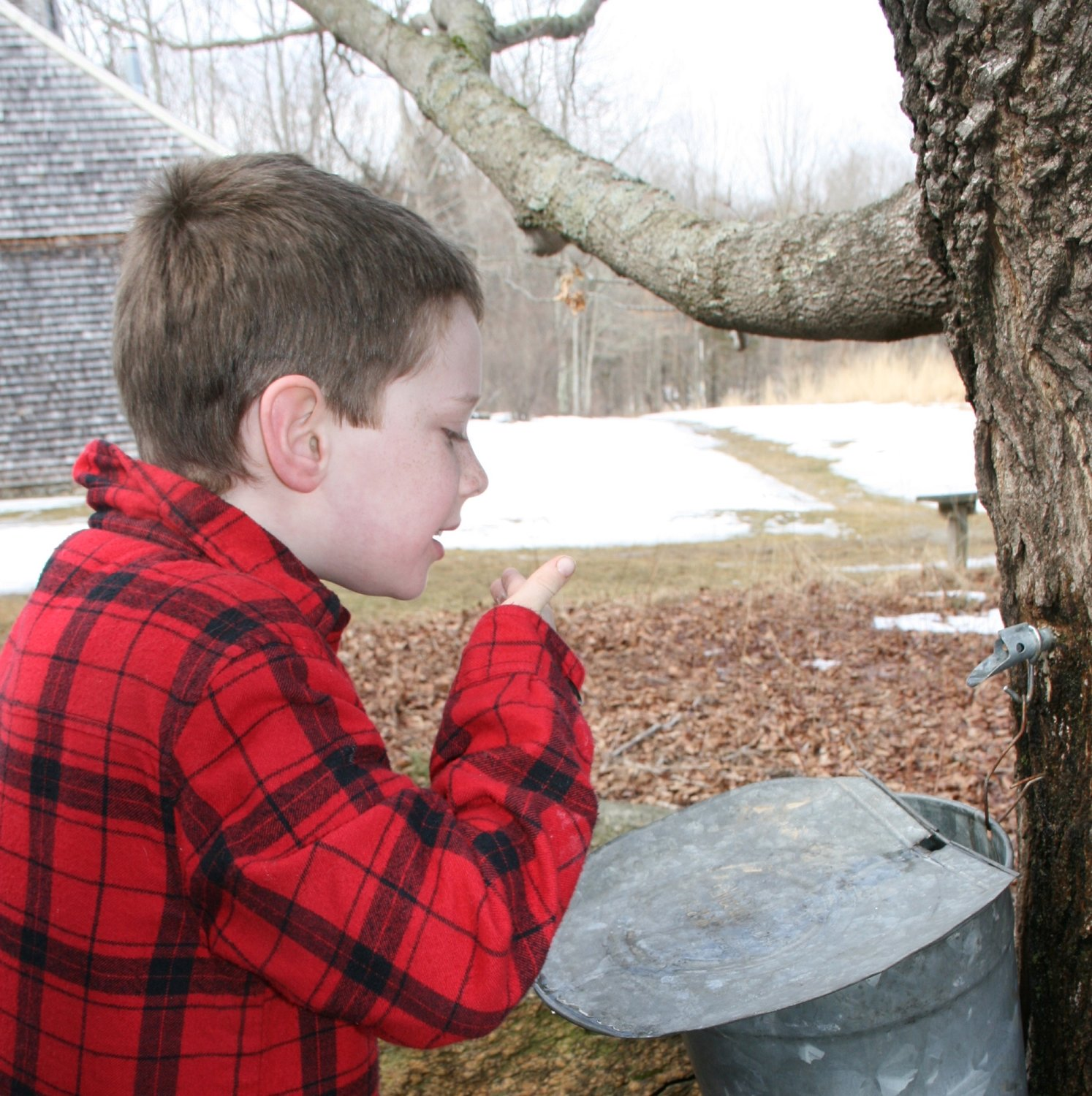 Audubon Maple Sugaring, Courtesy Audubon Society of Rhode Island