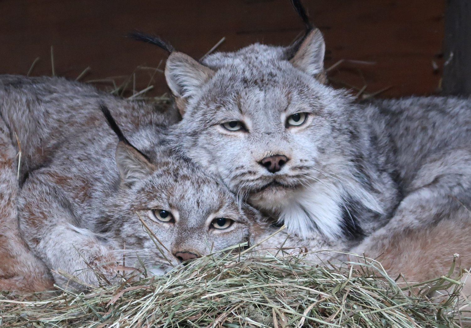 Calagary, pictured on the right, snuggling in an elevated den box with his mate, Sylvie.