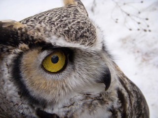 Great Horned Owl in the snow.