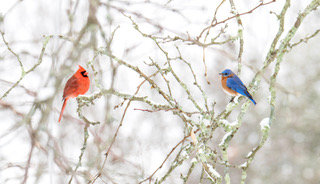 Northern Cardinal and Eastern Bluebird in winter