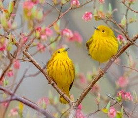 Yellow Warblers in spring