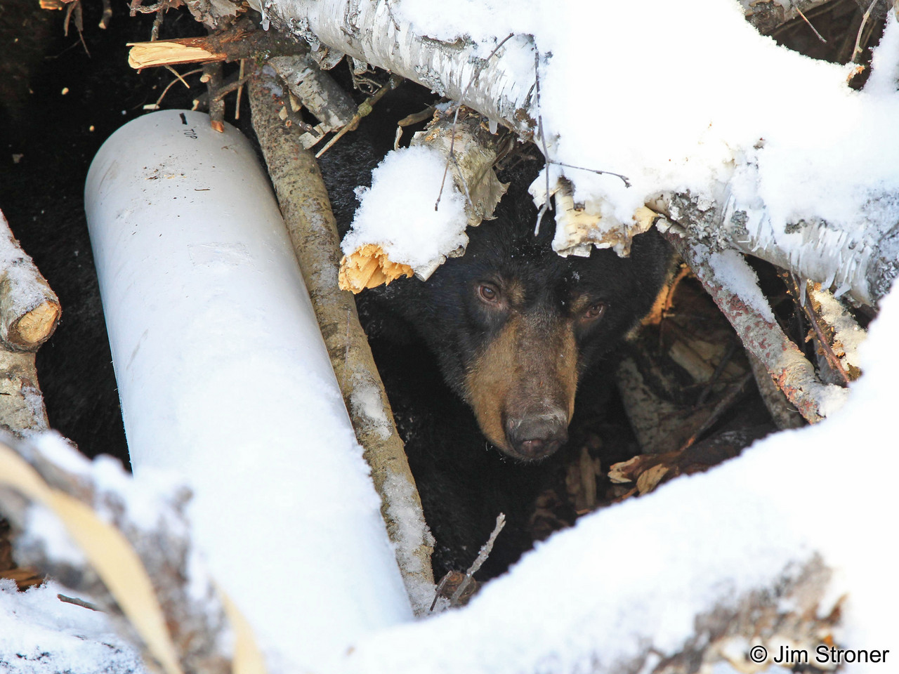 Lily the bear peeks out of her den earlier this year. She gave birth to twins on Jan. 12.