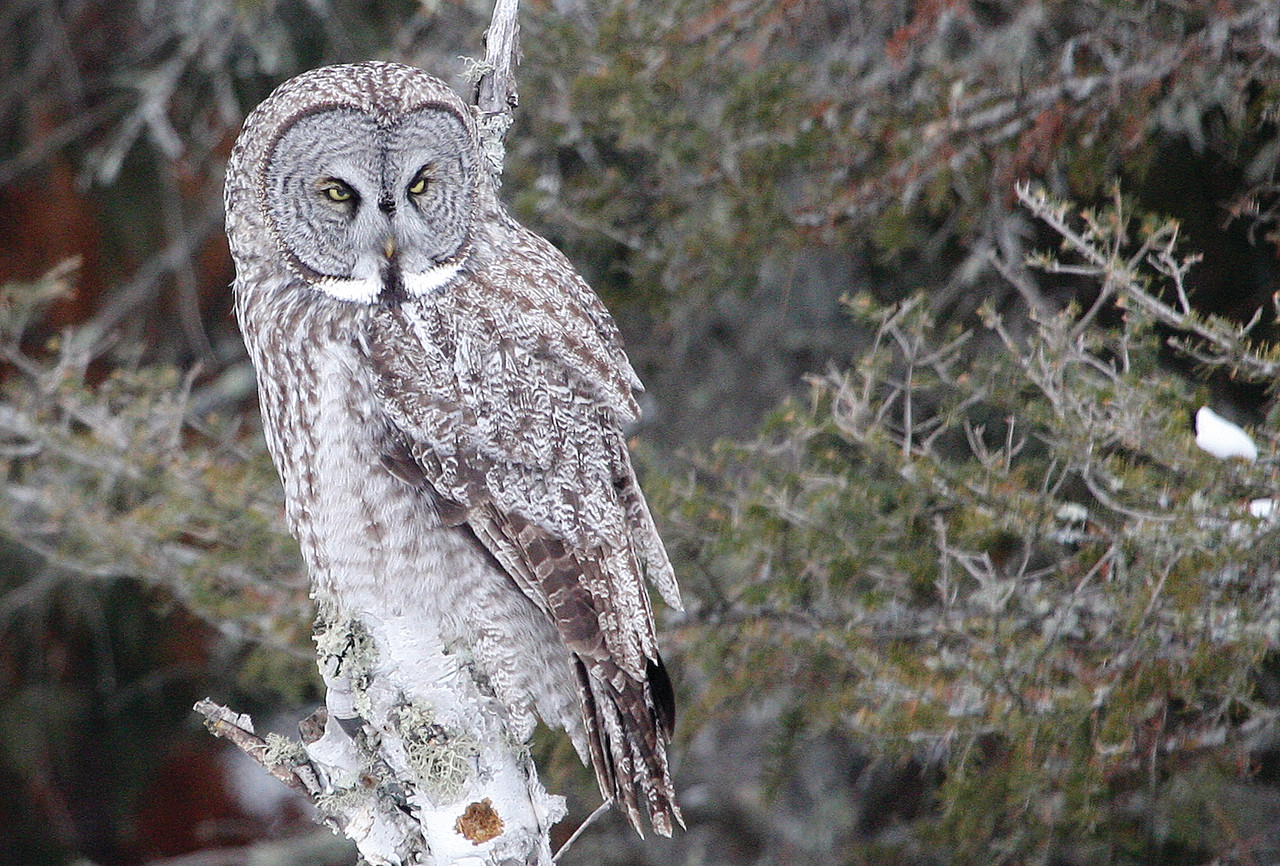 A great gray owl hunts from the top of a birch snag along
