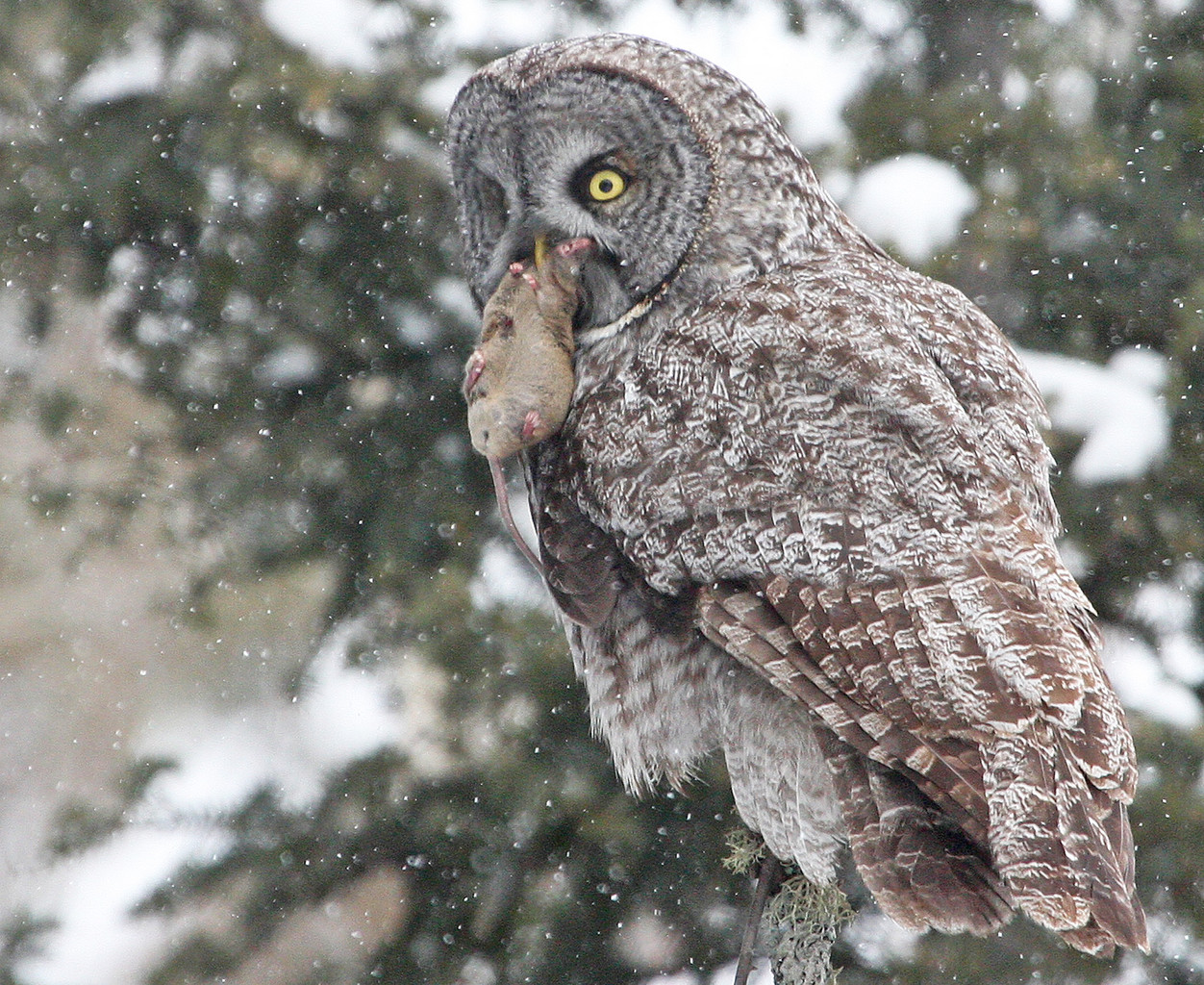 Success. A great gray owl finds a meal.