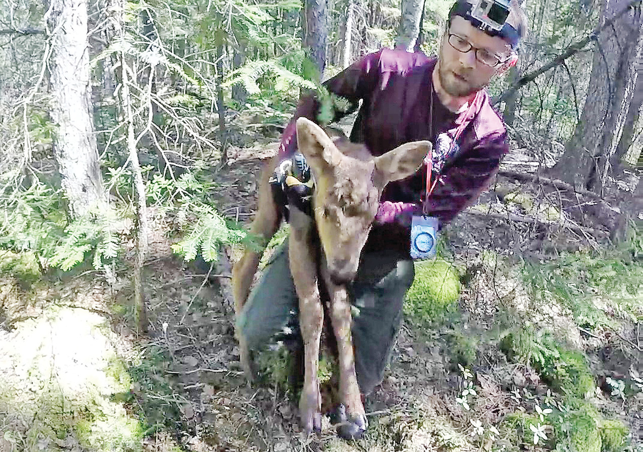 Graduate student Bill Severud fits a GPS collar on a young moose calf as part of ongoing research on the causes of high mortality on young moose.