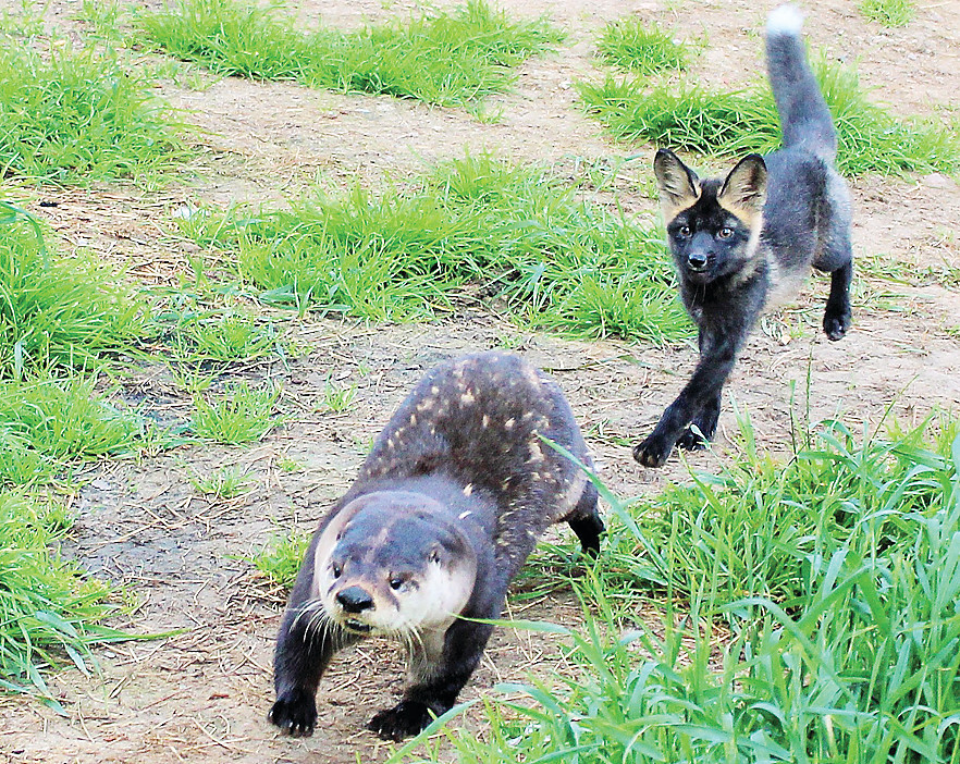 A rescued river otter and red fox play at the Dark Star Wildlife Center, near Pengilly. The two animals will be in Tower on Aug. 14 as part of the Vermilion Country School open house.