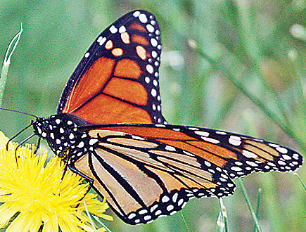 Monarch butterfly numbers have declined significantly and have now been proposed for federal protection