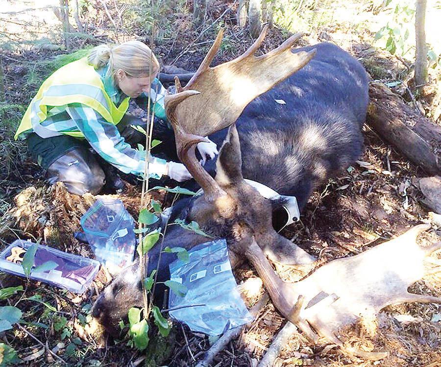 Moose team specialist Dawn Plattner, based in Tower, extracts a sample from a radiocollared bull moose that died this past fall. The ongoing research is an effort to better understand the reasons behind the moose decline that now appears to be affecting much of North America.