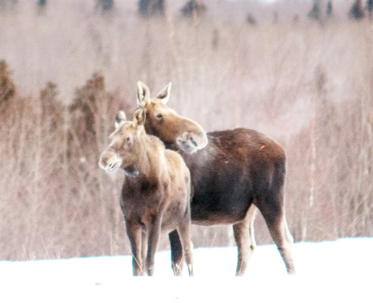 A cow moose and calf in northeastern Minnesota.