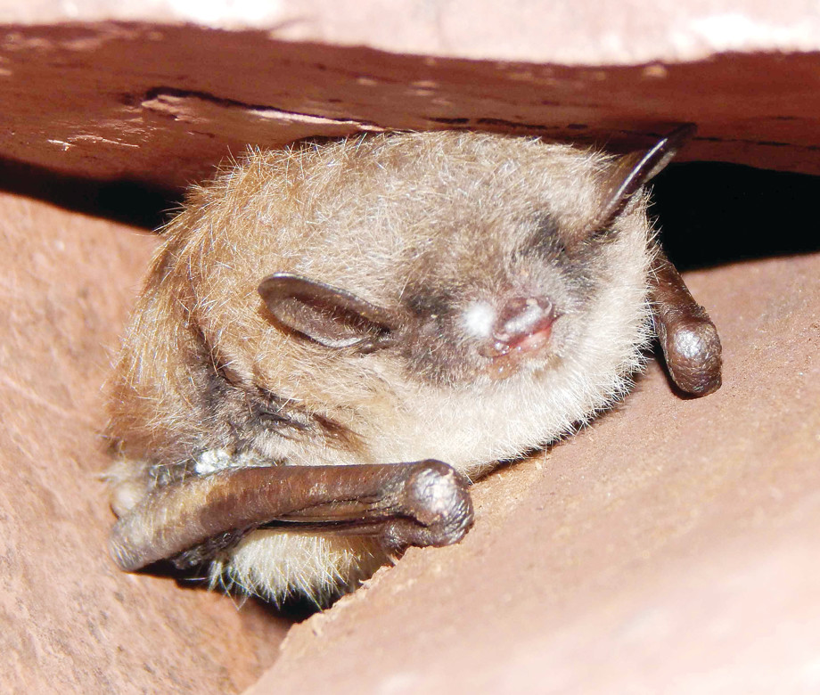 Researchers have confirmed the death of hundreds of bats from white-nose syndrome in the Soudan Mine. Soudan is the state's largest known hibernaculum, home to an estimated 10,000-15,000 bats.