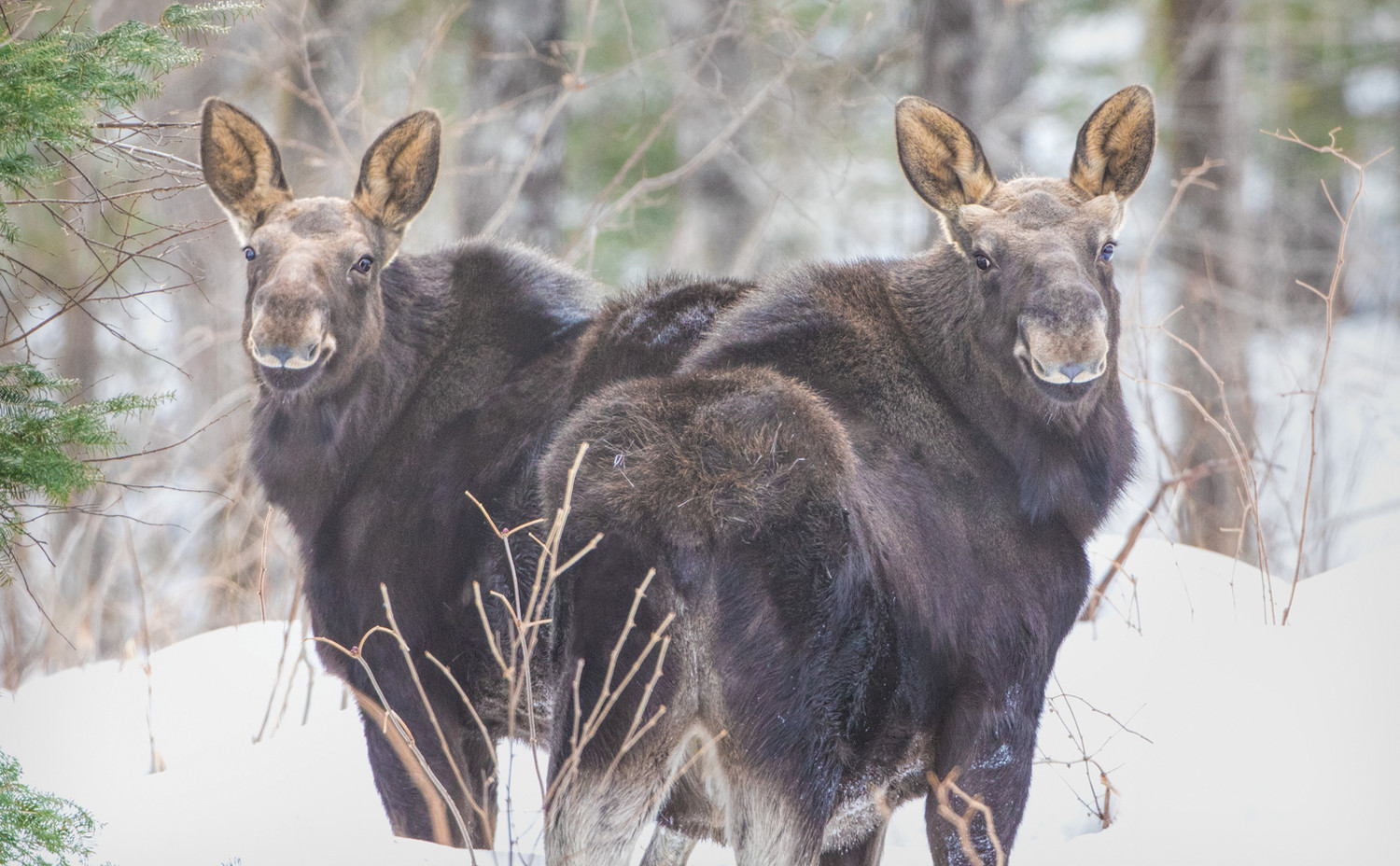 A pair of robust-looking moose calves photographed on the Superior National Forest last month.