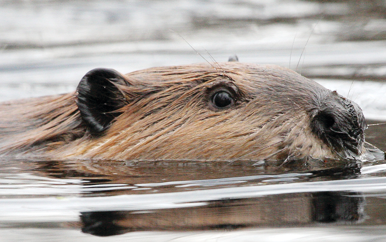 Beavers are a surprisingly significant food source for gray wolves during the open water season according to new research done at Voyageurs National Park.