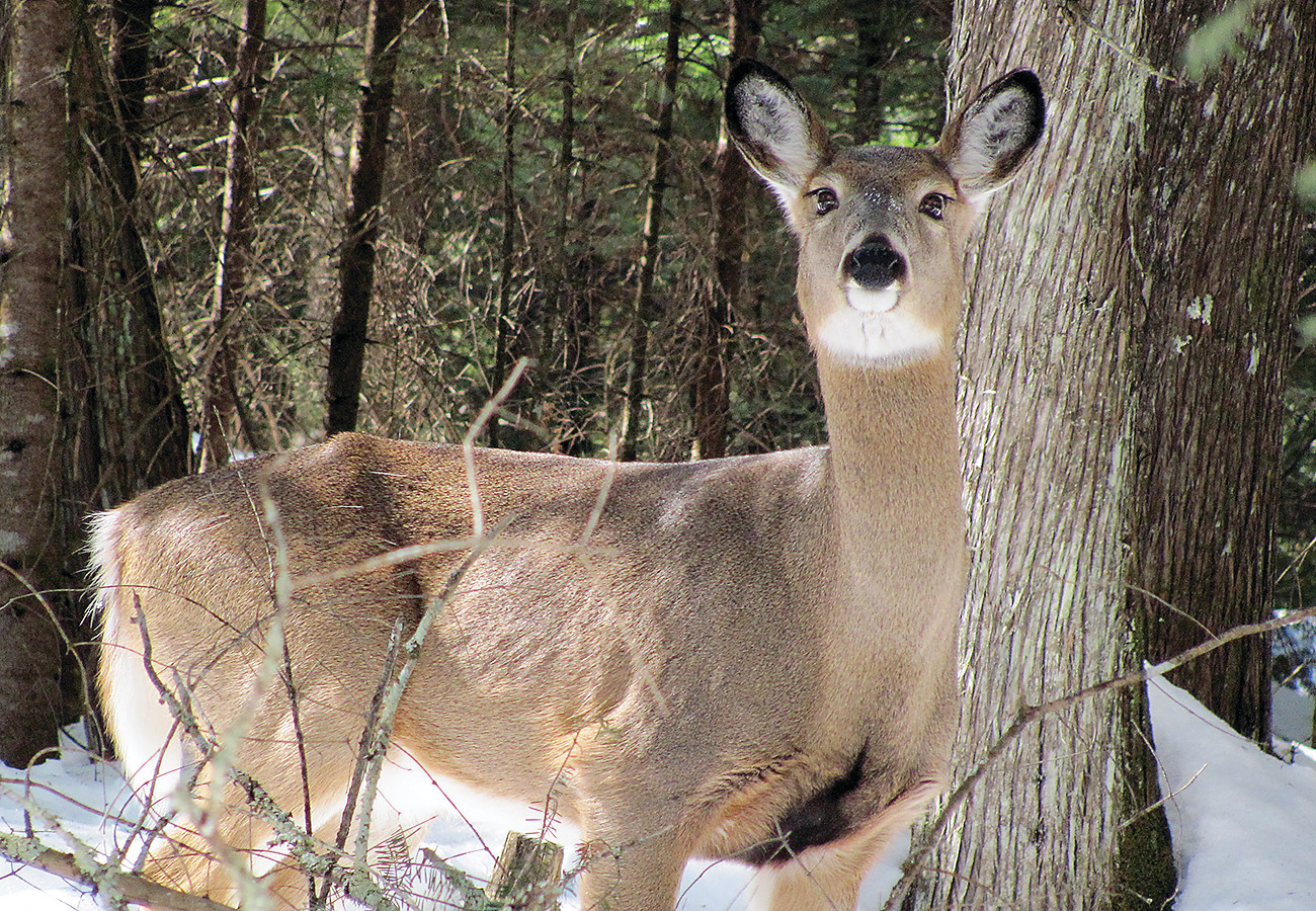 A skinny doe looked to be waiting on spring last week north of Orr. DNR biologists have launched a new study in the Elephant Lake area to better understand how deer are using the habitat in the area.