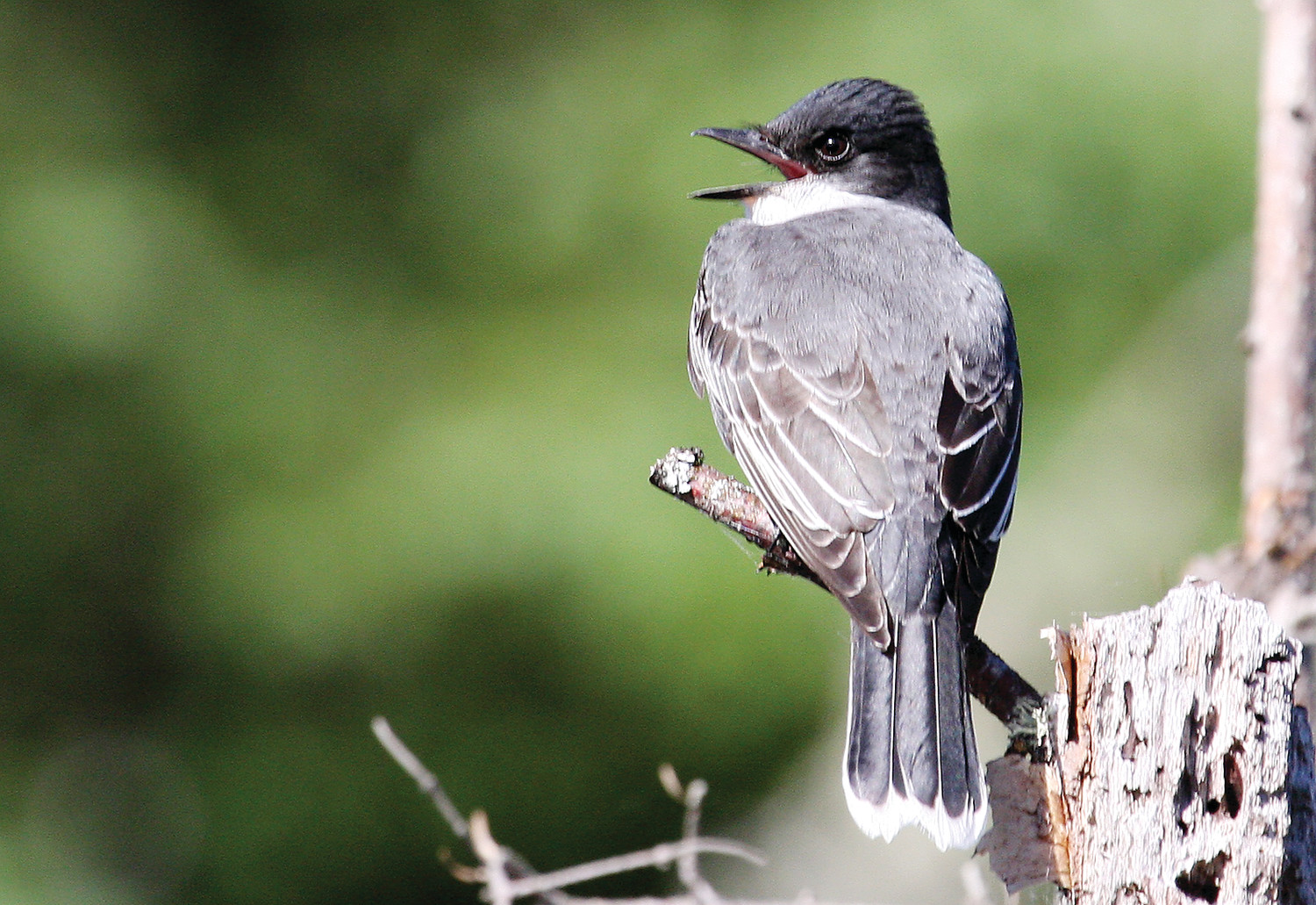 An eastern kingbird sounds off from his perch at the beaver pond.
