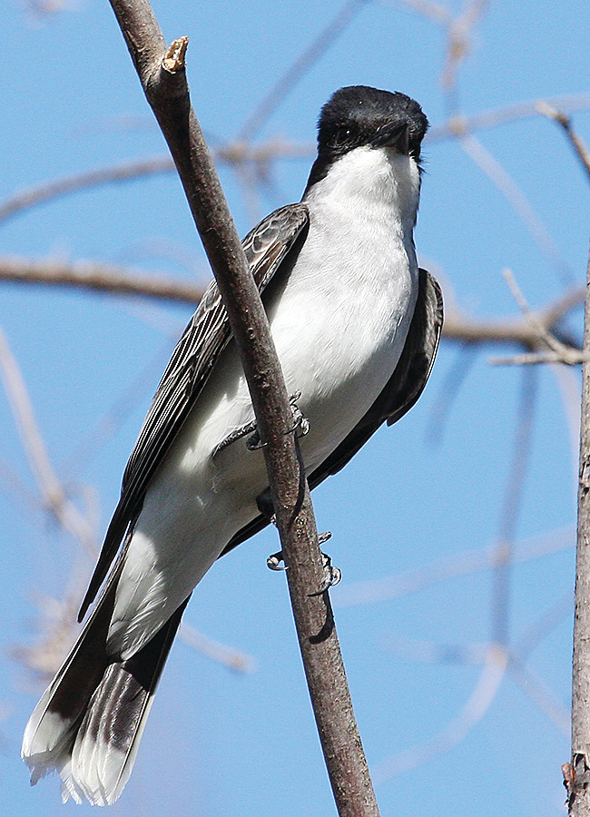 The dramatic black and white plumage of the eastern kingbird makes this bird easy to identify.
