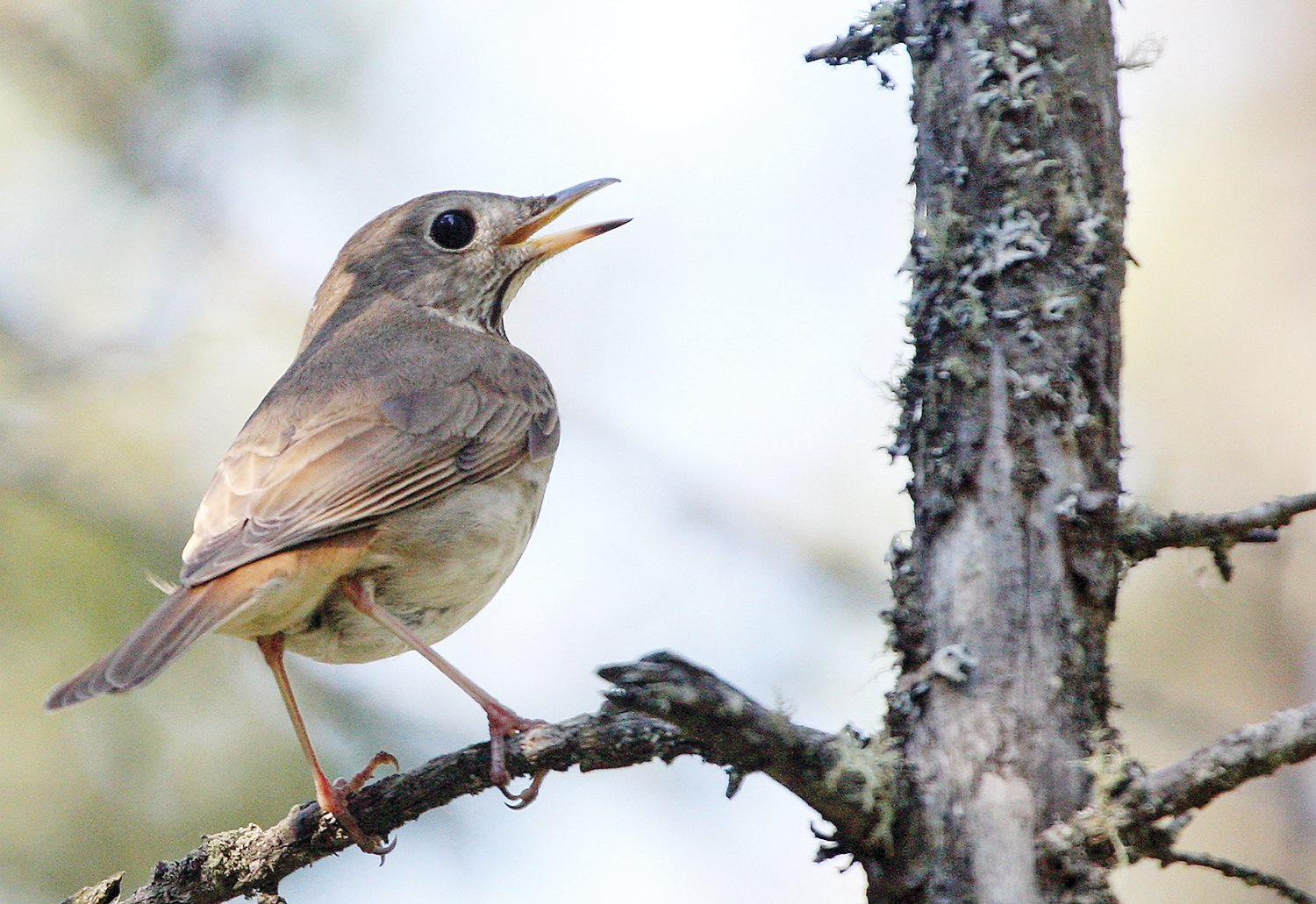 The large eyes of the hermit thrush help this bird see in low light conditions, which is when it prefers to sing 