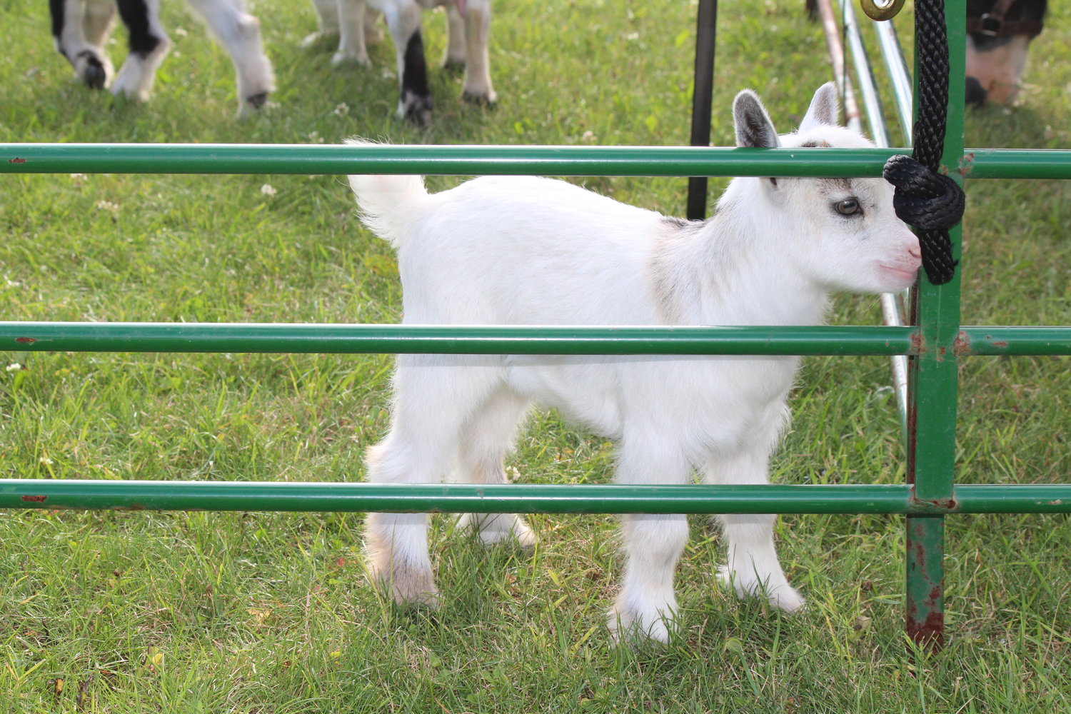 Baby goats pranced in their pen.
