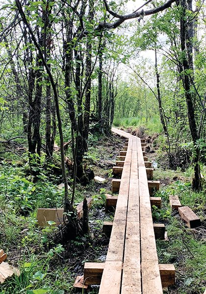 The new boardwalk makes its way through a wetland as the first leg of the new Ancient Cedar Forest Trail now under construction in Tower.