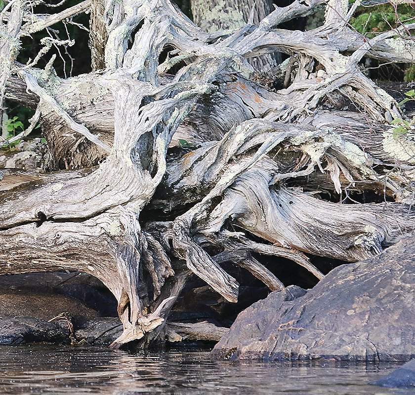 One of hundreds of weathered root masses found along the shore of Lost Lake.