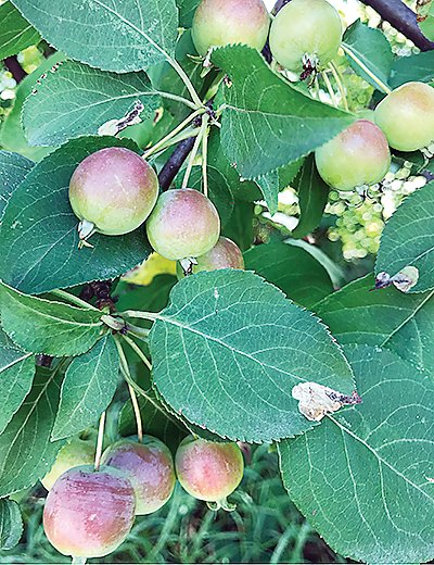 A strong crop of crab apples will ensure at least one batch of apple wine this fall.