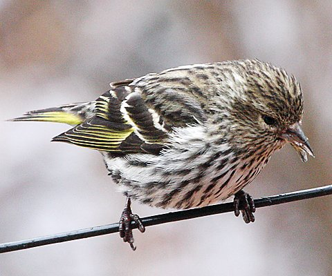 Pine siskins have moved into the area in large numbers, to take advantage of abundant spruce and cedar cone crops