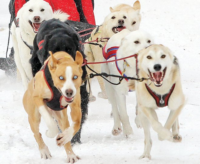 Ryan Miller's eight-dog team was motivated to get off to a good start Sunday morning in the 2021 WolfTrack Classic sled dog race.