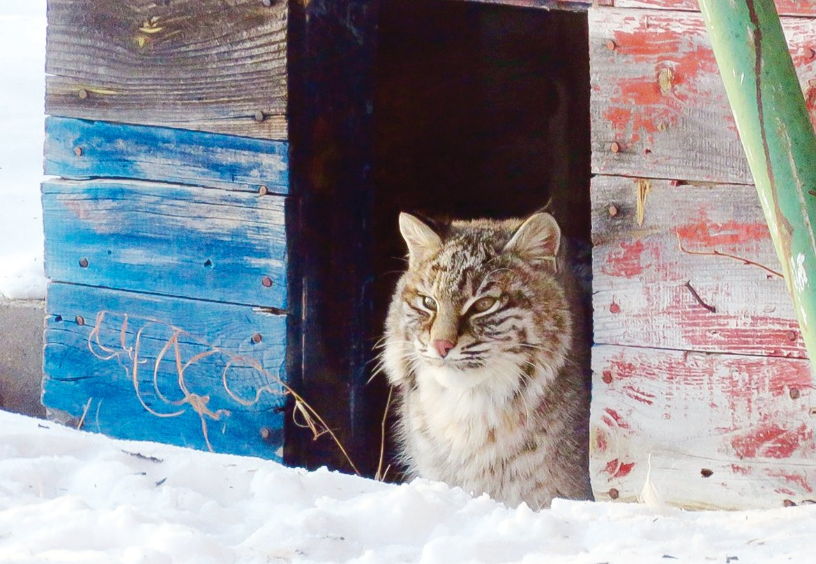 During the recent cold spell earlier this month, an enterprising bobcat decided to make use of a vacant doghouse at the home of Randy and Julie Grahn, near Cook.  It appears he was, perhaps hoping for a bowl of milk, as well?