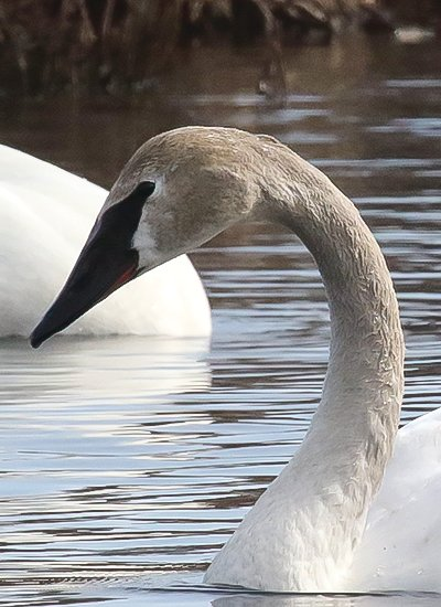 The gray face and neck on this trumpeter swan shows it's an immature bird.