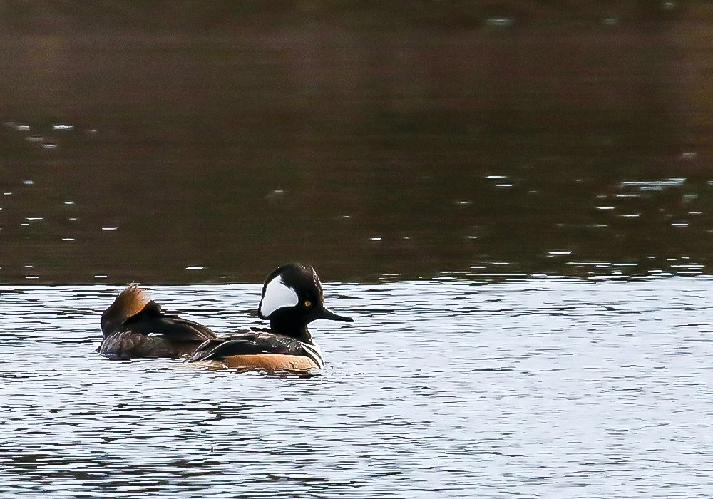 A male (r) and female hooded merganser, also found on the river