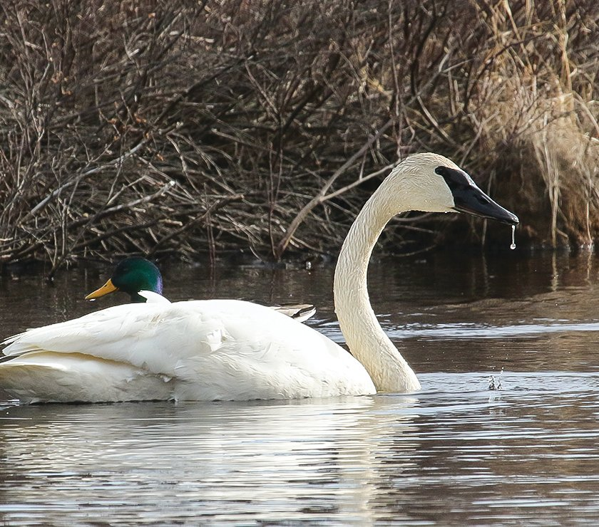 A trumpeter swan and mallard swim past each other.